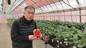 人生の楽園イチゴ農家(長谷部農園)は神奈川県藤沢市!通販お取り寄せや場所や料金は?